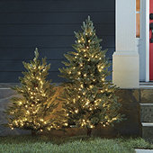 Staked Twinkling Frasier Fir Tree