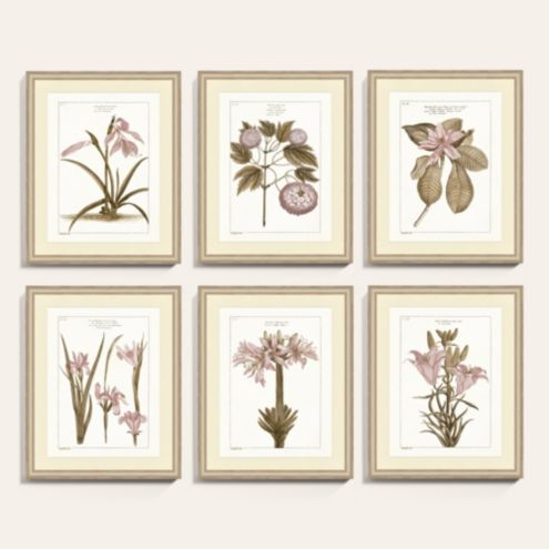 Buchoz Dusty Rose Botanical Art Print